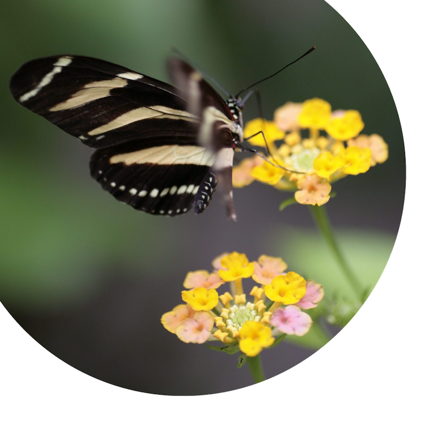 Butterfly on yellow flowers for EicOsis home page